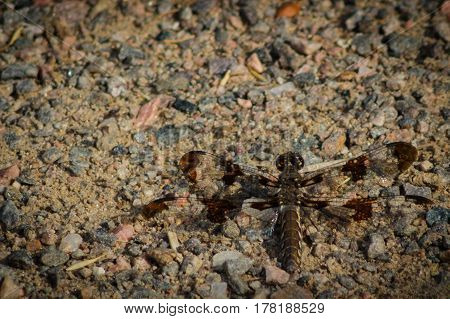A brown and yellow dragon fly camouflaged on a gravel trail.
