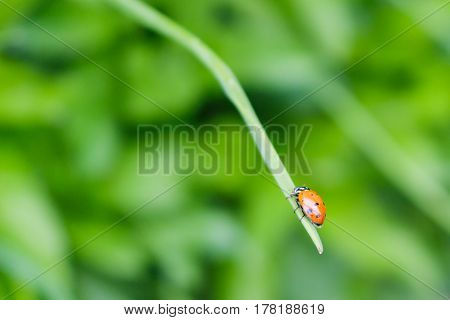 A ladybug climbing up a chive stalk in the garden.