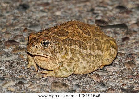 Great Plains Toad (Anaxyrus cognatus) on a road in Arizona