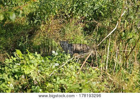 Rabid cat has white-grey color, with a wicked expression.Lying on the grass in autumn.