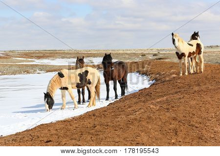 Small herd of mustang horses quenching thirst with snow