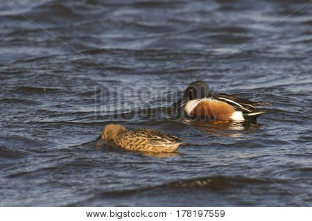 Northern Shoveler (Anas clypeata) couple swimming in water of a Lake on a windy afternoon in March