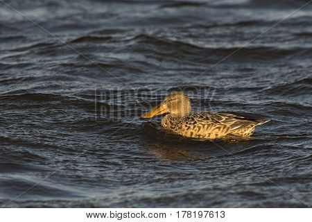 Northern Shoveler (Anas clypeata) female swimming in water of a Lake on a windy afternoon in March