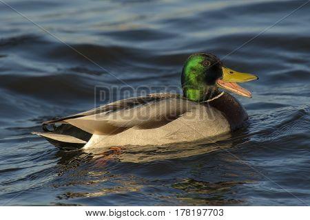 Mallard (Anas platyrhynchos) drake swimming in water of a Lake yawning