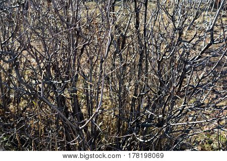 The leafless branch of a bush close up. Rectangular horizontal background.