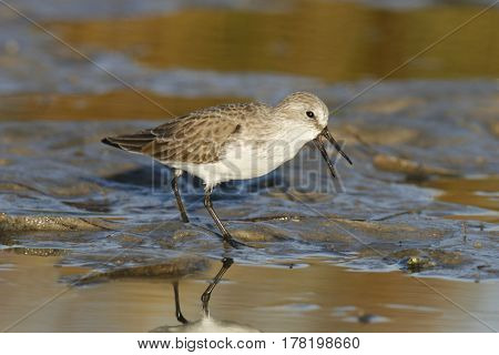 Save Download Preview A Semipalmated Sandpiper, Calidris pusilla walking on a mudflat in early morning light