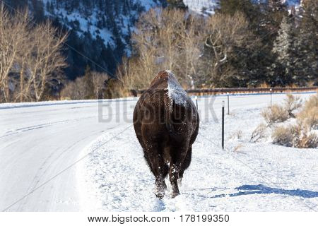 Lone bull bison walking along snow covered road with snow on one side of his back