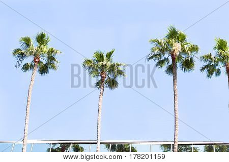 Several palms against the blue sky and lit by the sun in the city of Los Angeles