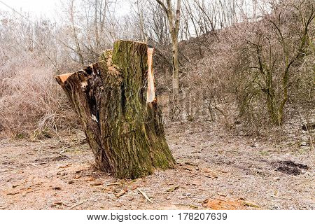 Stump. A cut of a large tree. The remains of a tree.