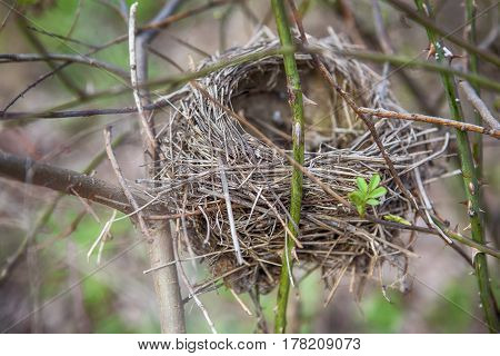 Empty nest on the branch in the spring