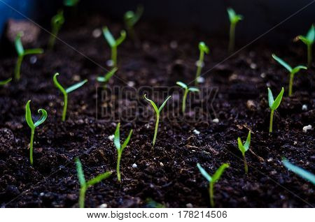 Close Up Young Seed Germination And Plant Growing With Rain Water Drop Over Green And Morning Sunlig