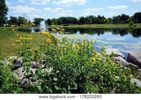 Prairie rosinweed flowers (Silphium integrifolium), also known as the whole-leaf rosinweed and the entire-leaf rosinweed, bloom next to a small lake during June in Joliet, Illinois.