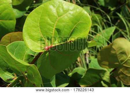 Close-up view of the sea grape leaf.