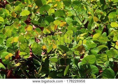 A group of sea grape plant leaves near the beach.