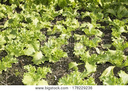 Young bright green lettuce field in winter