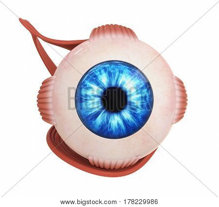 Human Eye Extraocular Muscles isolated on white background. 3D render