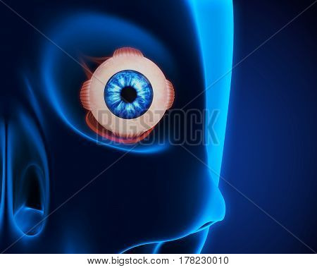 Human Eye Extraocular Muscles illustration. 3D render