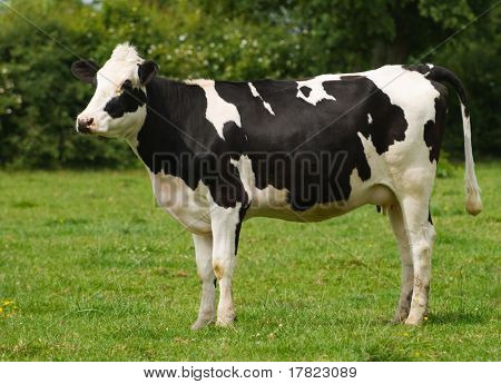 Young Friesian cow standing in a green field