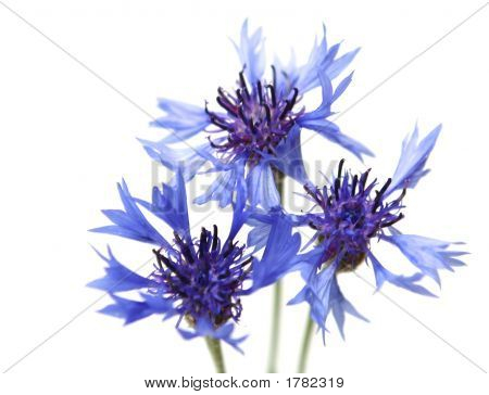 Dark Blue Flowers On A White Background