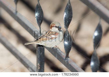 Portrait of a sparrow on a metal fence