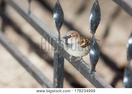 Portrait of a small sparrow on a metal fence