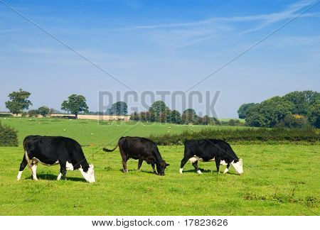 Dairy cows grazing in a field with sheep in the background