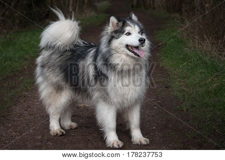 full length side profile of a husky cross malamute dog standing and facing to the right