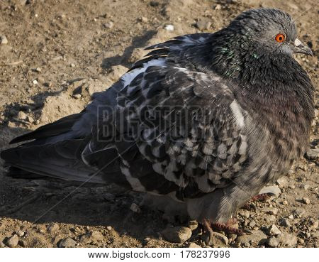 Pigeon, dove, gray pigeon closeup, city birds. Dove -  a bird of peace