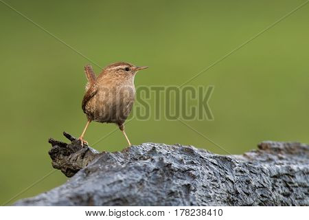 Close up profile portrait of a wren perched on a log and looking right. Troglodytes troglodytes