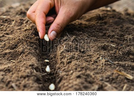 Farmer's hand planting seed in soil agriculture