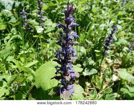 bugle - flower , green background ,