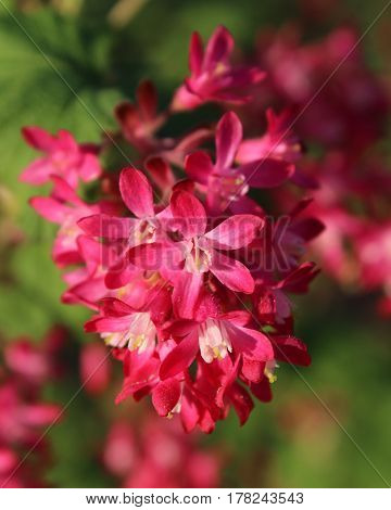 Close up of the early spring flowers of Ribes sanguineum also known as Flowering Currant or Red Flower Currant.