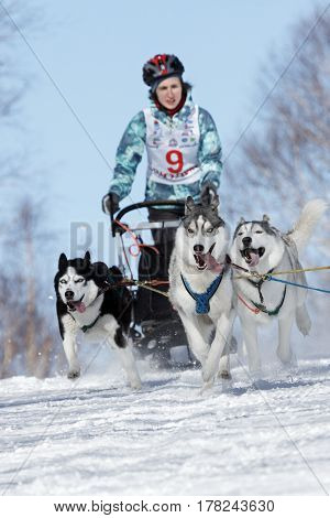 PETROPAVLOVSK-KAMCHATSKY KAMCHATKA PENINSULA RUSSIA - FEBRUARY 23 2017: Runs dog sled young Kamchatka musher Grishina Elizabeth. Kamchatka Kids Competitions Sled Dog Race Dyulin (Beringia).