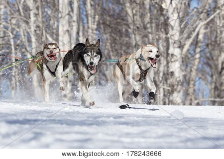 PETROPAVLOVSK-KAMCHATSKY KAMCHATKA PENINSULA RUSSIA - FEBRUARY 23 2017: Runs dog sled Alaskan husky musher Krivogornitsyna Kristina. Kamchatka Kids Competitions Sled Dog Race Dyulin (Beringia).