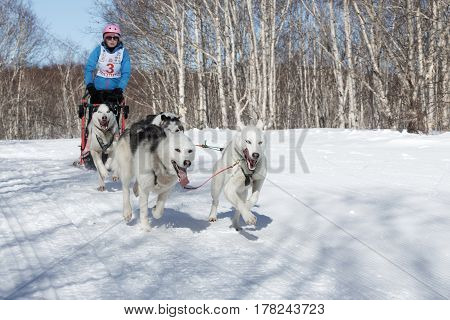 PETROPAVLOVSK-KAMCHATSKY KAMCHATKA PENINSULA RUSSIA - FEBRUARY 23 2017: Kamchatka Kids Competitions Sled Dog Race Dyulin (Beringia). Runs dog sled young Kamchatka musher Ischenko Alisa.