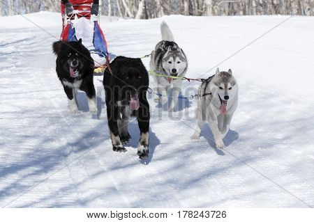 PETROPAVLOVSK-KAMCHATSKY KAMCHATKA PENINSULA RUSSIA - FEBRUARY 23 2017: Kamchatka Kids Competitions Sled Dog Race Dyulin (Beringia). Runs dog sled young Kamchatka musher Lyulin Kirill.