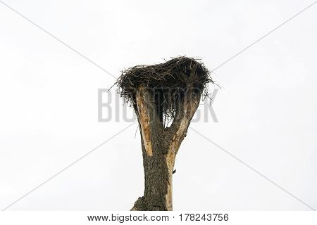 A stork's nest reared on an old tree in the village