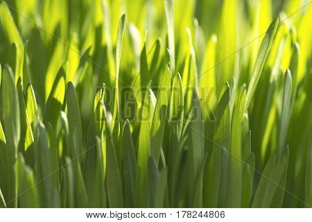 Freshly grown organic wheat grass close up