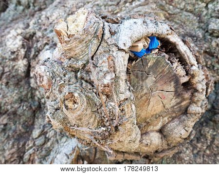 A close up shot of a knobble and stump of an old oak treee