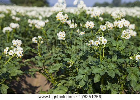 Flowering Potatoes On A Field Close-up