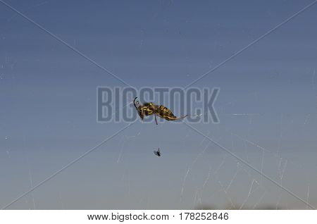 Victim caught in the web of a spider