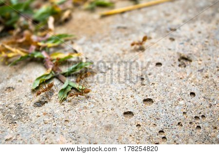 red ant, red ant on ground, concept teamwork