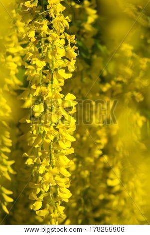 Goldregen gelb golden chain yellow Baum tree Pflanze plant gold Natur nature