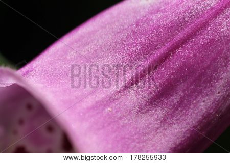 Fingerhut digitalis foxglove rosa pink lila rose purple Blume Flower Pflanze plant poster