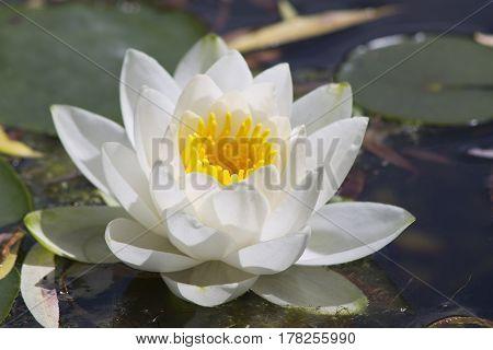 Wasserlilie Blüte gelb weiß Pflanze Makro China Flora white water lily Seerose yellow white plant Teichrose macro