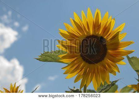 Blumen Blüten Insekten blume flora gelb yellow sommer summer sonne sun sonnenblume sunflower sonnenlicht sun gegenlicht backlight