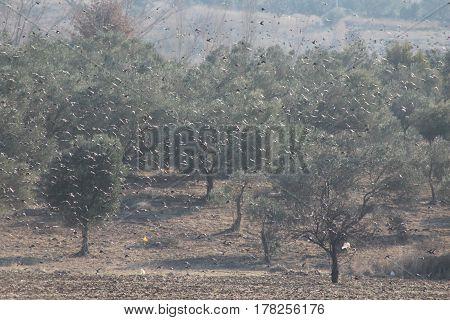 Sığırcıklar grup halinde tarlalardaki ekinleri yemeğe doğru yol aldıkları fotoğraf.