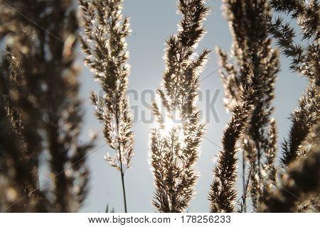 Gras im Gegenlicht vor einem blauem Himmel