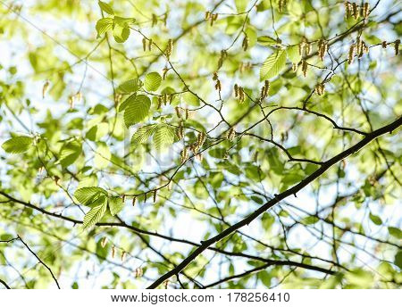 Horizontal image of lush early spring foliage - vibrant green spring fresh leaves of poplar tree in spring in protected forest
