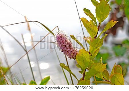 Wild flower on background of water . Beautiful vegetation macro green grass. The gentle timid nature.